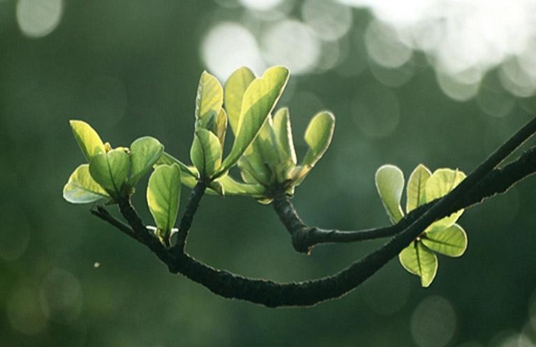 Nên sử dụng lá bằng non để chữa bệnh giúp nâng cao hiệu quả mang lại