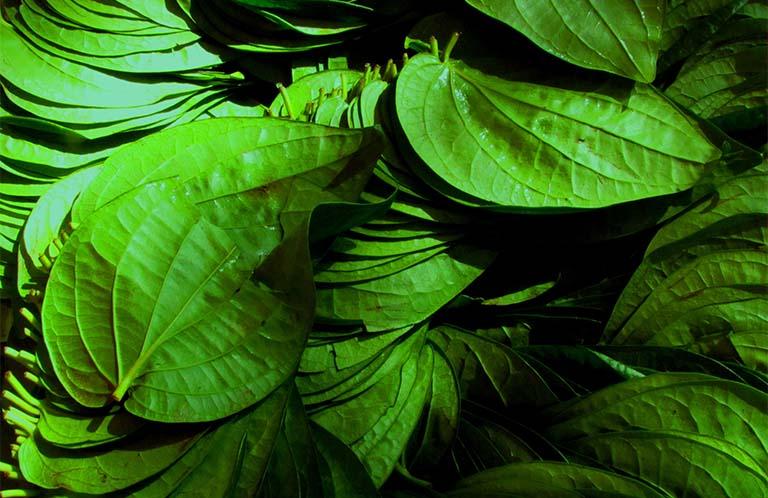 chữa bệnh tổ đỉa bằng rau răm và lá trầu không