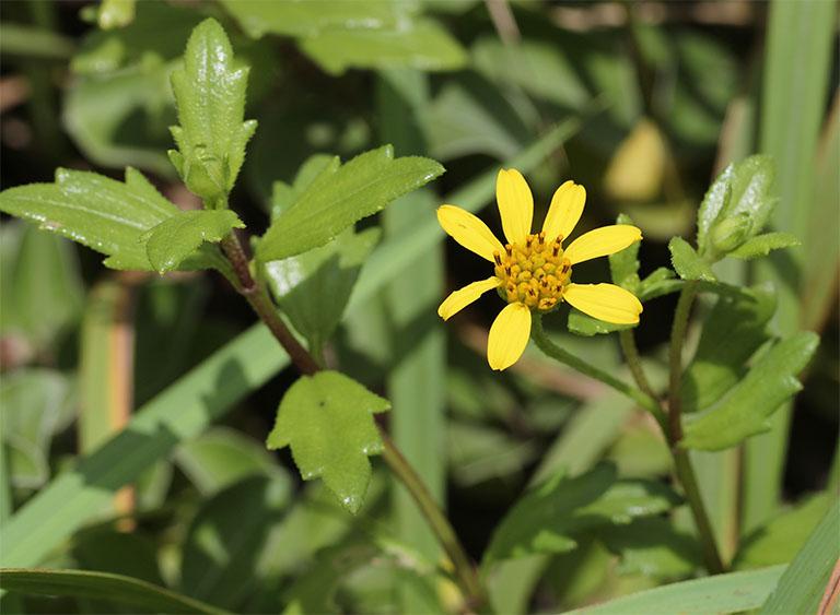 chữa bệnh tổ đỉa bằng cây sài đất và rau răm