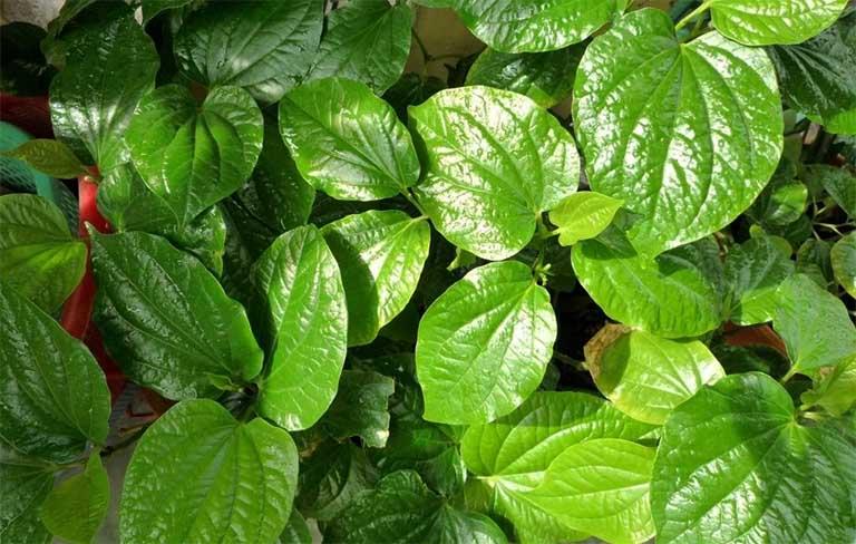 Lựa chọn lá lốt tươi, to, lá không quá già, không bị sâu đục để bào chế thành thuốc trị bệnh viêm da cơ địa