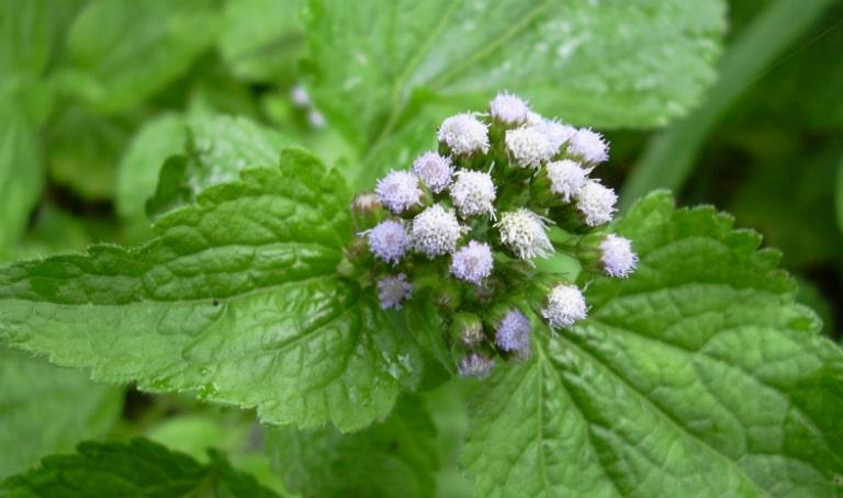 Cây hoa ngũ sắc hay còn có tên gọi là cây cỏ hôi