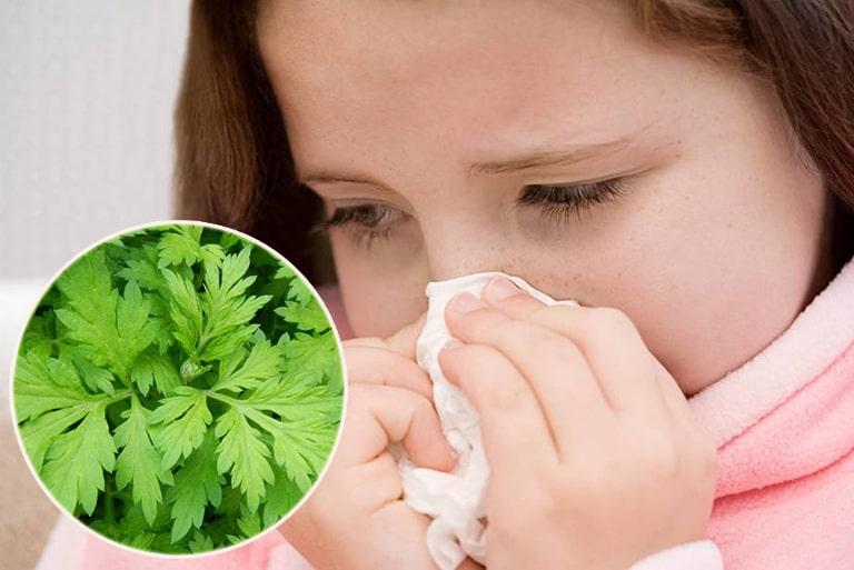 Ngải cứu chữa viêm mũi dị ứng, viêm xoang rất tốt