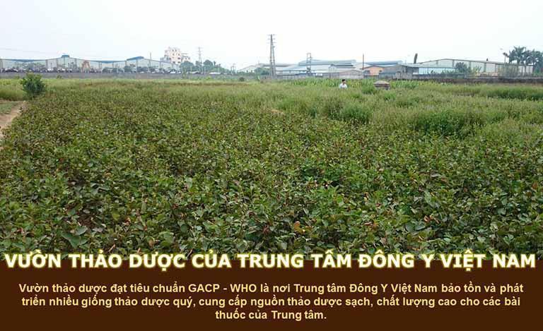 Vườn thảo dược cung ứng thành phần Thanh hầu bổ phế thang