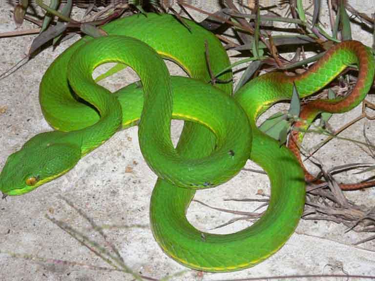 Thực tế cách dùng rắn lục đuôi đỏ trị viêm xoang có thể gây hại cho sức khỏe người bệnh