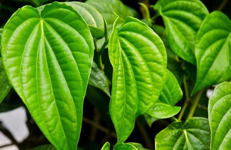 Bài thuốc từ lá cây trầu không chữa trị bệnh trĩ