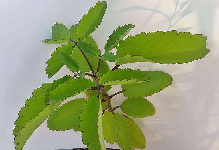 Bài thuốc dân gian chữa bệnh trĩ bằng cây lá bỏng