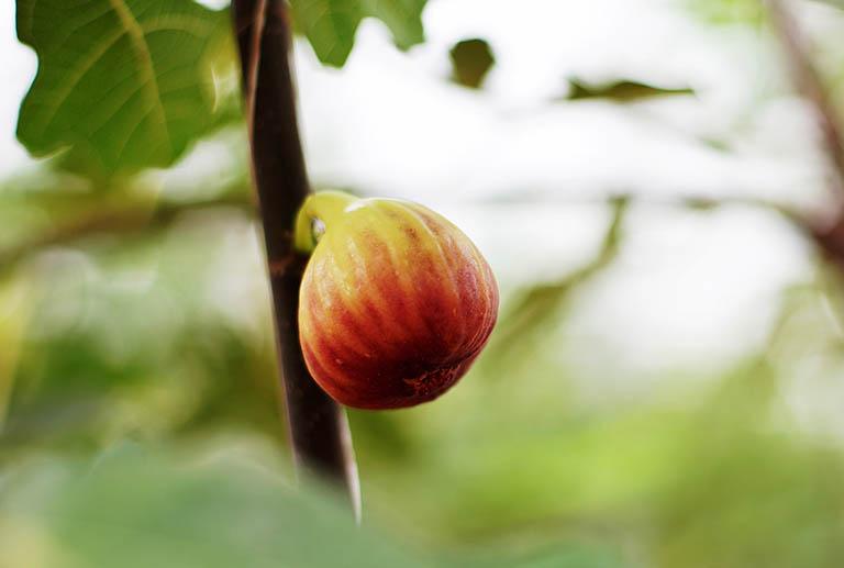 Bài thuốc dân gian chữa bệnh trĩ từ quả sung
