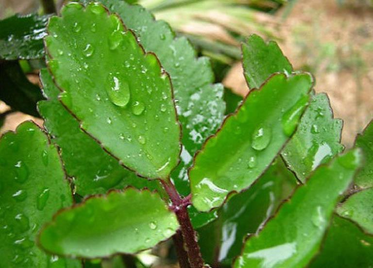 cách chữa bệnh trĩ bằng cây lá bỏng