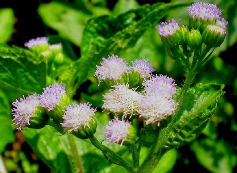 Bài thuốc từ hoa ngũ sắc là một cách chữa căn bệnh viêm xoang được nhiều người dùng