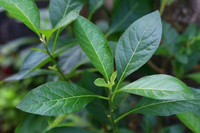 Dùng vỏ thân cây lá đắng nấu nước uống điều trị bệnh đau vai gáy tại nhà