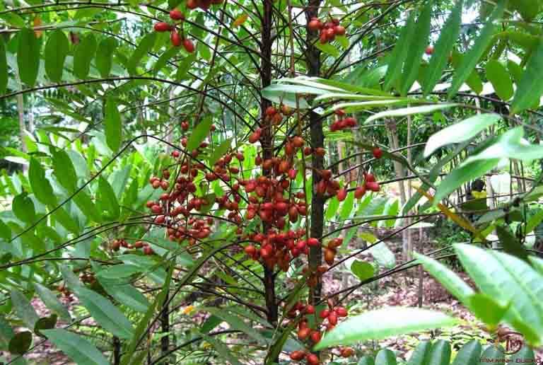 thuốc nam chữa yếu sinh lý từ cây mật nhân