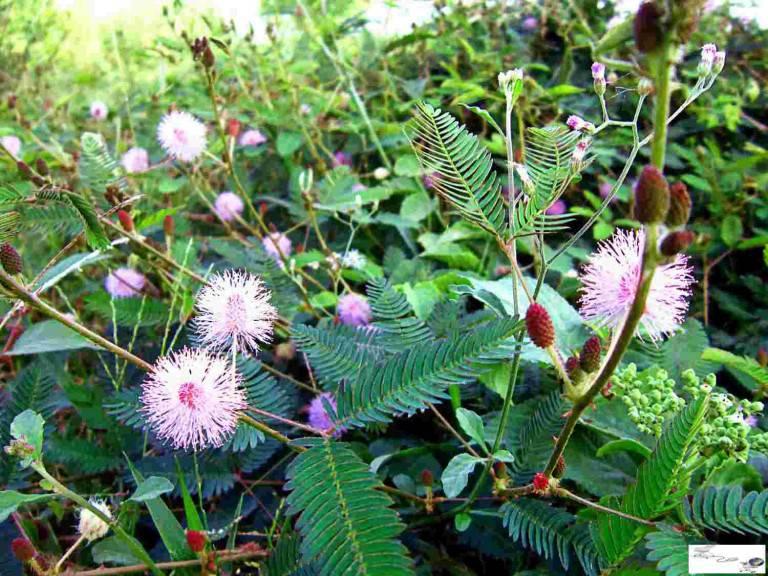 Dùng cây trinh nữ mọc hoang dại trong tự nhiên để cải thiện bệnh đau vai gáy