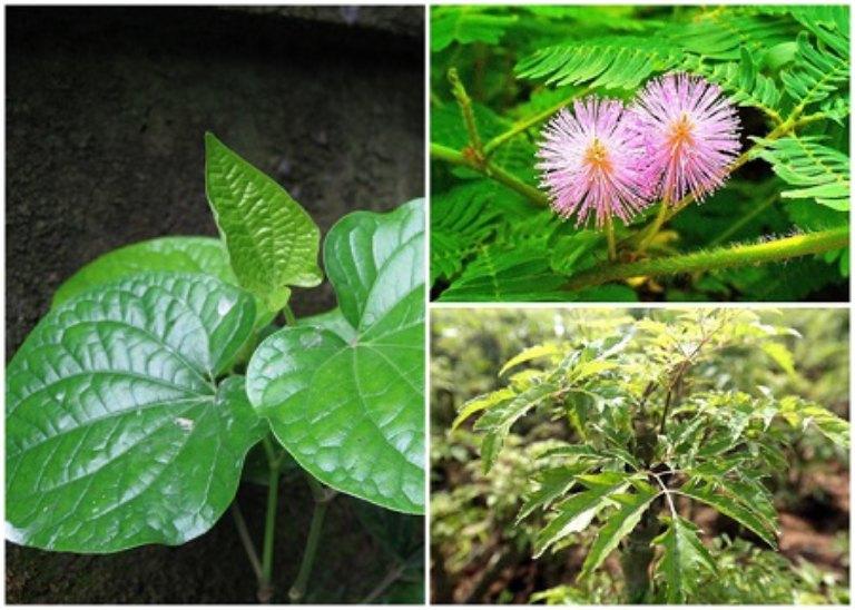Bài thuốc chữa bệnh thoái hóa đốt sống cổ từ lá lốt, đinh lăng và cây trinh nữ