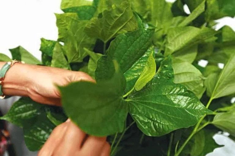 Nên chọn lá lốt bánh tẻ còn tươi xanh để chữa bệnh mới có thể mang lại hiệu quả tốt nhất
