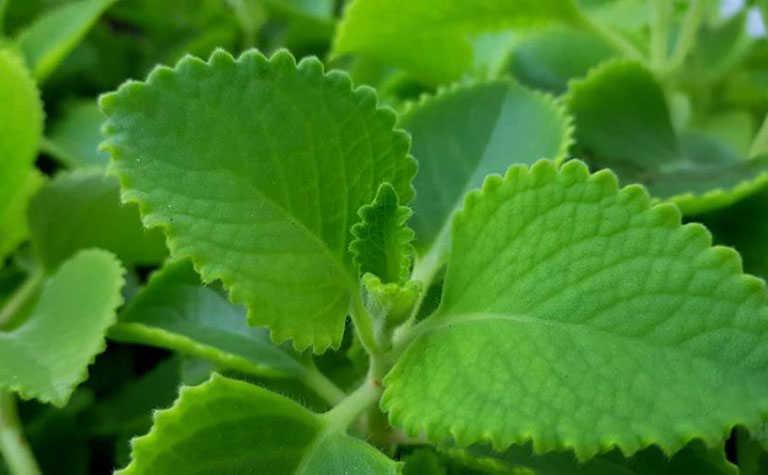 Lá và thân của tần dày lá nhiều lông, dễ gây kích ứng đối với những người có làn da nhạy cảm.