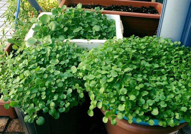Rau cải xoong là một trong những thảo dược quan trọng trong bài thuốc chữa viêm phế quản