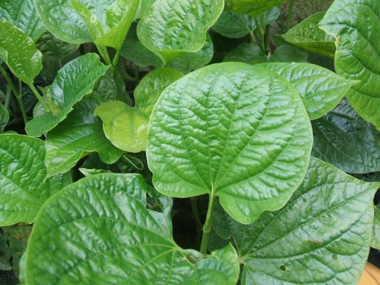 Bài thuốc dân gian chữa viêm xoang mũi hiệu quả từ cây lá lốt