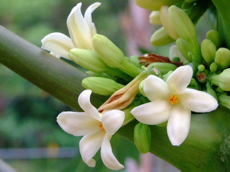 Chữa viêm họng bằng thuốc nam từ hoa đu đủ đực được nhiều người đánh giá hiệu quả cao