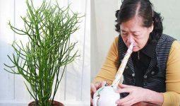 Cây giao còn có tên gọi khác là cây xương cá, là thảo dược xông hơi trị viêm xoang phổ biến