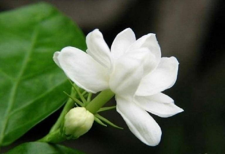Dùng hoa nhài chữa bệnh chàm sữa