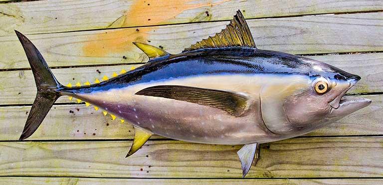 Bệnh gout ăn cá ngừ được không