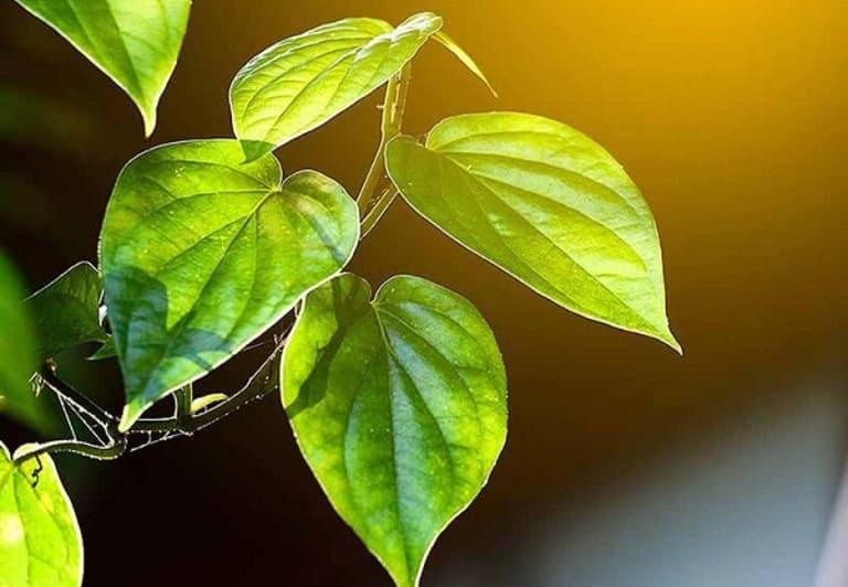 Bài thuốc làm từ lá trầu không chữa bệnh da liễu
