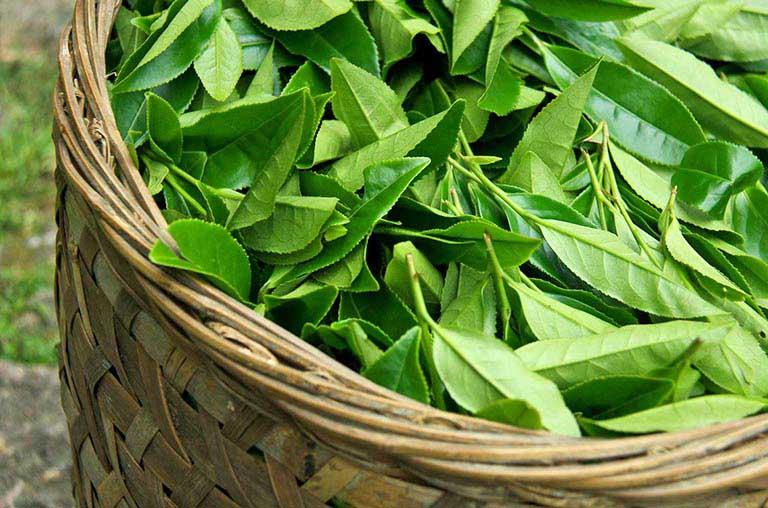 Lá chè xanh có thể dùng để chữa các bệnh nóng trong người như á sừng