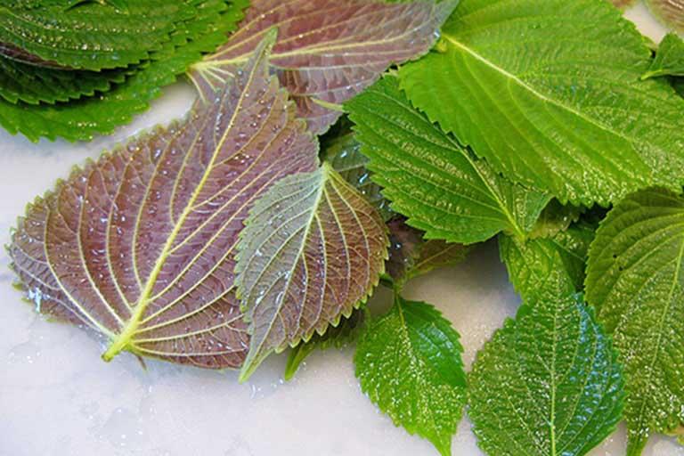 cách chữa bệnh gout bằng thuốc nam từ lá tía tô