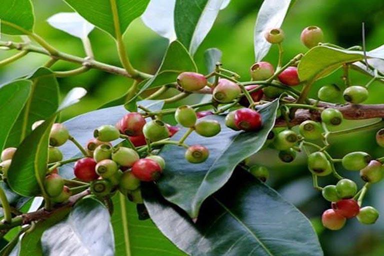 cách chữa bệnh gout bằng thuốc nam từ lá vối