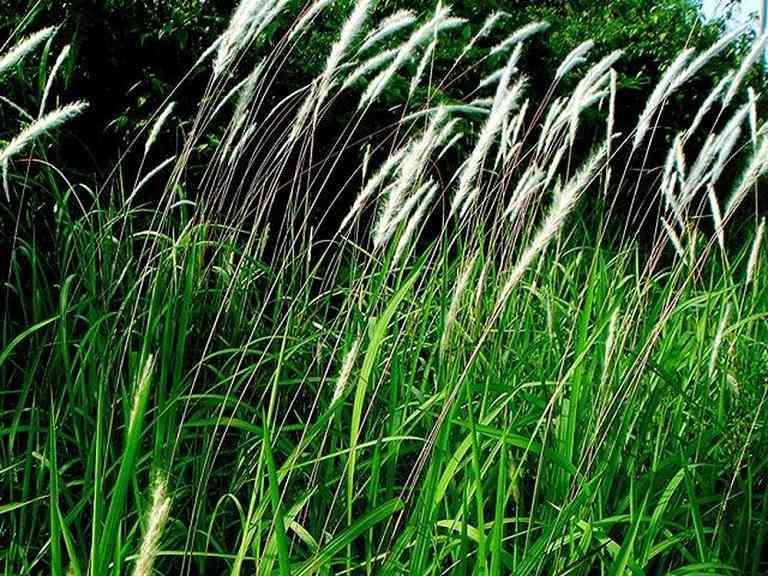 Y học chứng minh rễ cây cỏ tranh giúp rút ngắn thời gian trị thận yếu