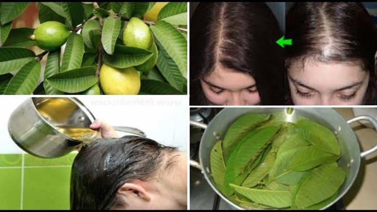 Cách trị rụng tóc bằng lá ổi được nhiều chị em ưa dùng