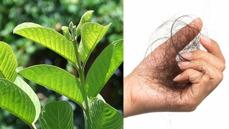 Công hiệu chữa rụng tóc của lá ổi
