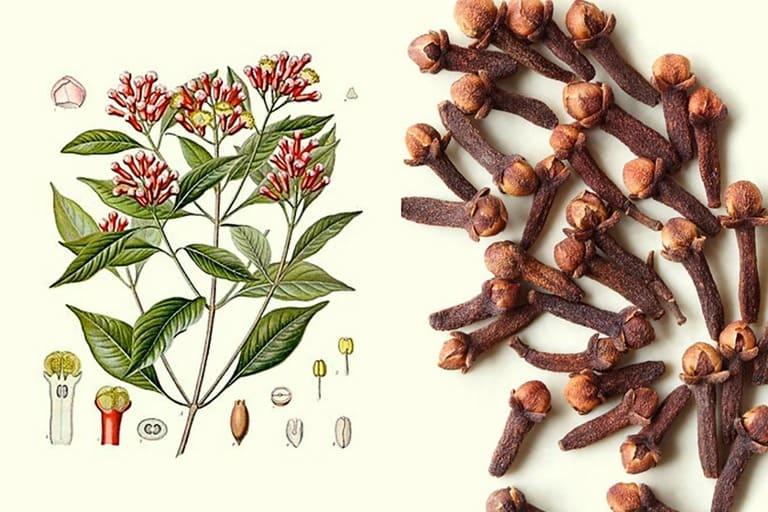 Đinh hương có thể dùng khi bị hắc lào