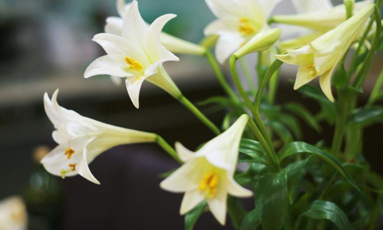 Hấp hoa loa kèn trắng ăn vào buổi tối giúp cải thiện chất lượng giấc ngủ đáng kể