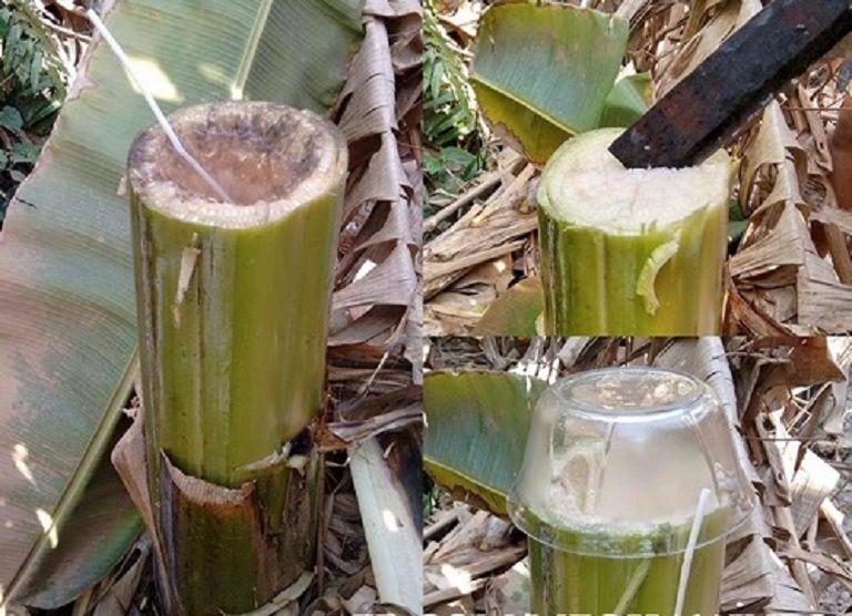 Uống nước chuối hột là cách chữa tiểu đường tại nhà được nhiều người áp dụng