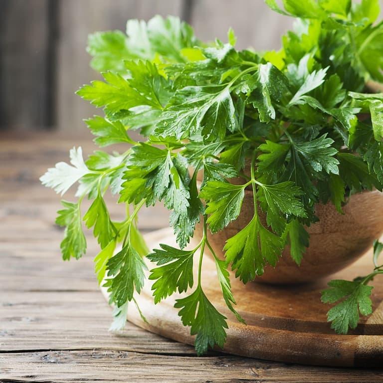 Lá mùi tây có tác dụng trị bệnh hiệu quả