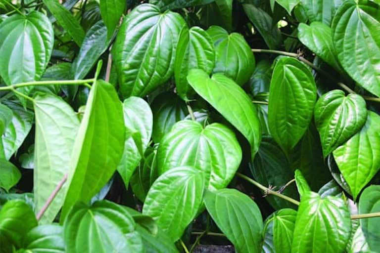 chữa ra khí hư có mùi hôi bằng lá trầu
