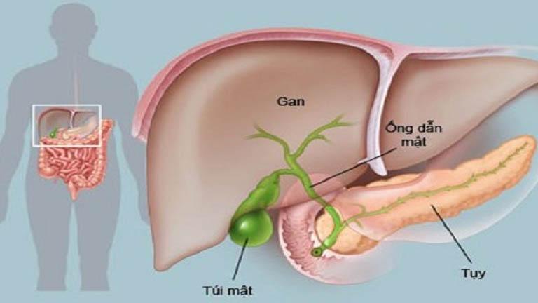 Thông qua ống dẫn mật, gan được cung cấp đủ mật từ túi mật