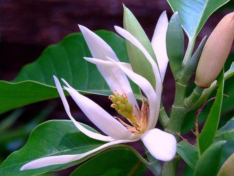 Hoa ngọc lan có công dụng chữa vô sinh hiếm muộn