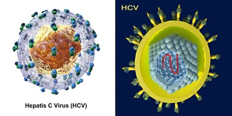 Virus HCV là tác nhân chính gây ra bệnh viêm gan C, chúng có thể tồn tại trong môi trường đến 4 ngày