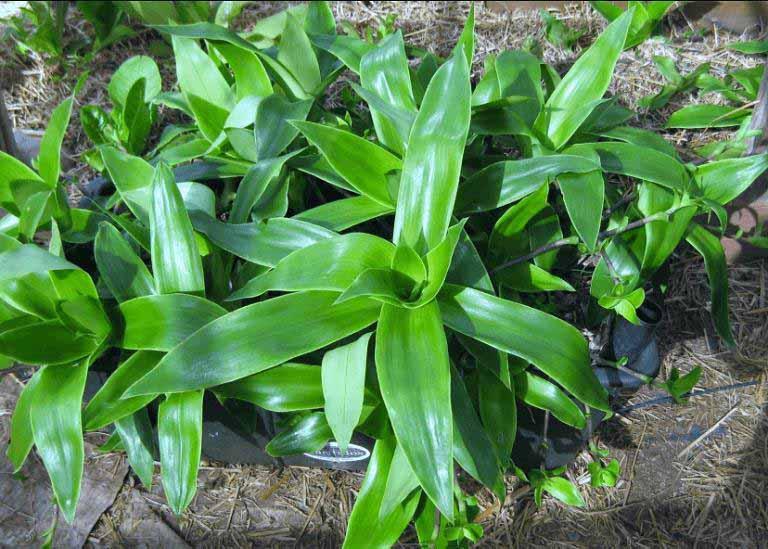 Thành phần dược tính có trong cây lược vàng có tác dụng kháng histamin và hỗ trợ điều trị bệnh