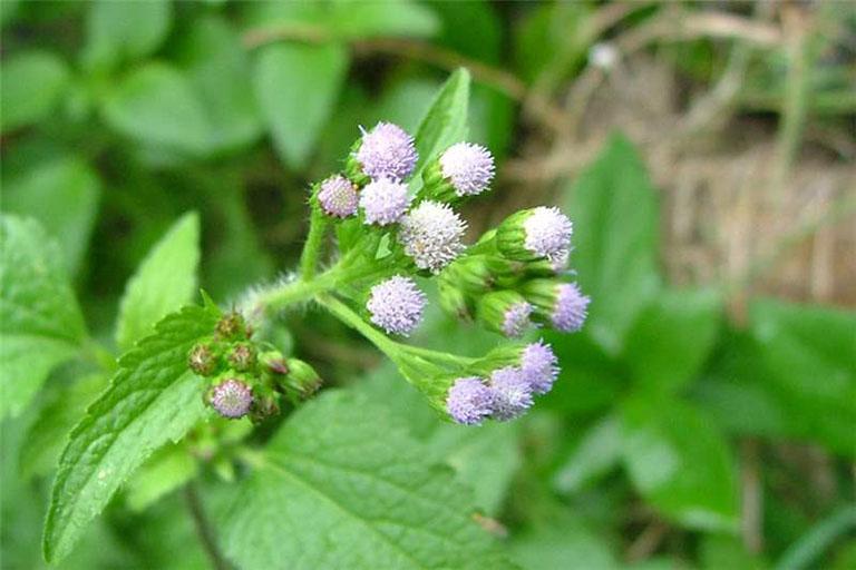Sử dụng cây ngũ sắc có hoa máu tím để trị viêm mũi dị ứng mới mang lại hiệu quả