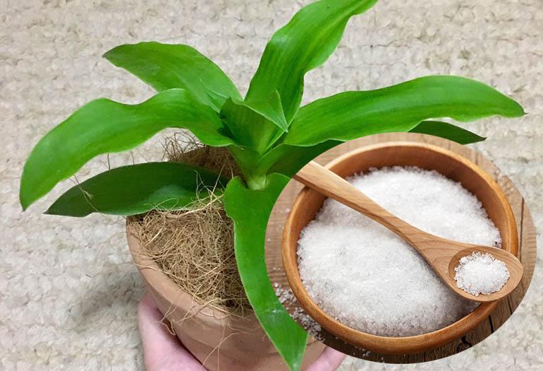 cách dùng cây lược vàng chữa viêm nha chu