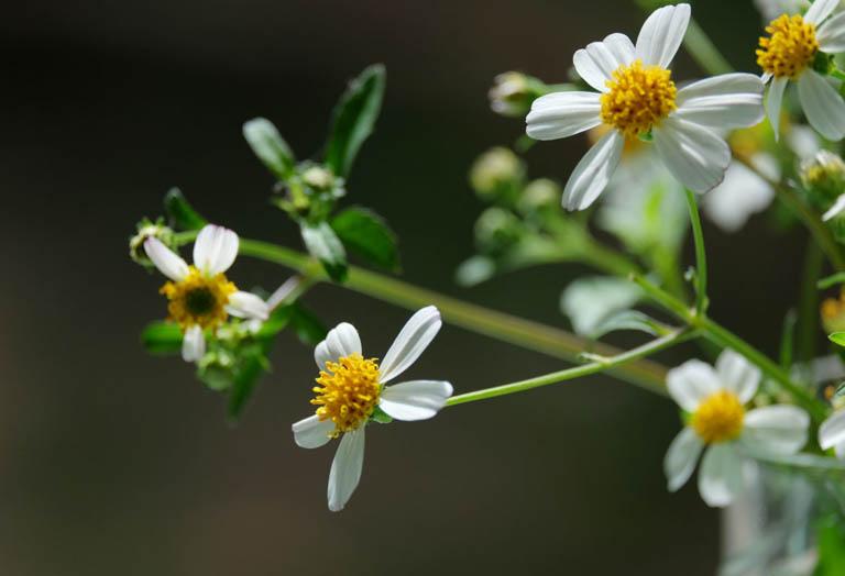 Dùng lá và hoa xuyến chi để điều trị bệnh viêm mũi dị ứng tại nhà