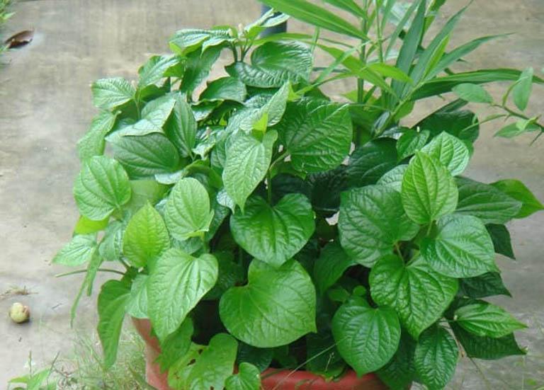 Tận dụng lá lốt có sẵn bên trong vườn nhà để cải thiện triệu chứng của bệnh